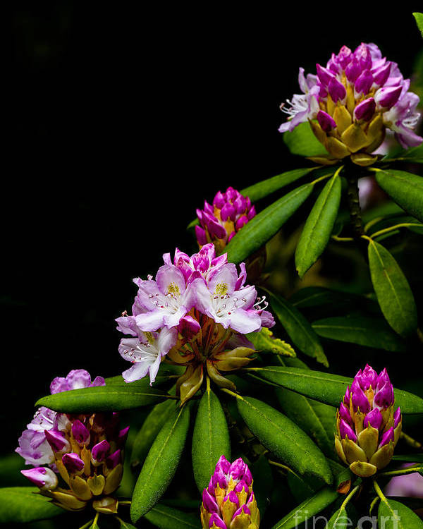 Rhododendron Maximum Poster featuring the photograph West Virginia State Flower by Thomas R Fletcher
