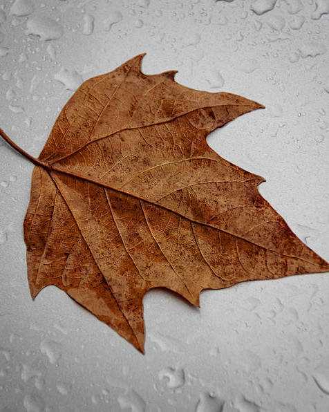 Fall Poster featuring the photograph Autumn Leaf by Paulo Goncalves