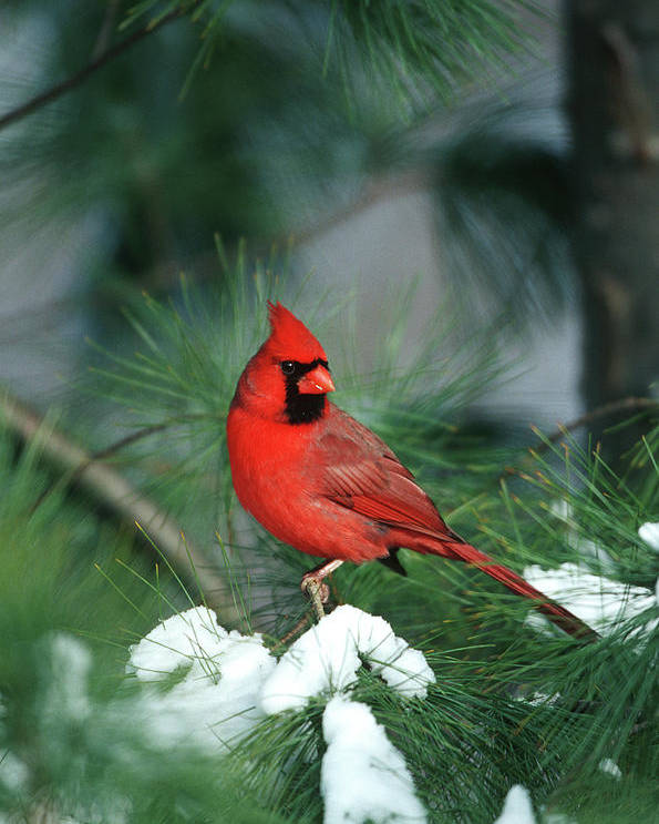 Avian Poster featuring the photograph Northern Cardinal (cardinalis Cardinalis by Richard and Susan Day