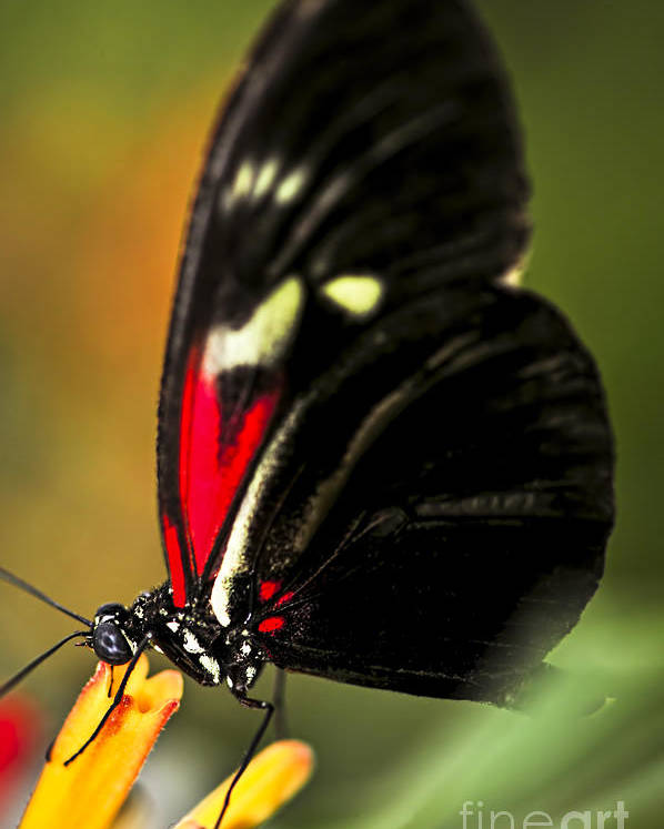 Heliconius Poster featuring the photograph Red Heliconius Dora Butterfly by Elena Elisseeva