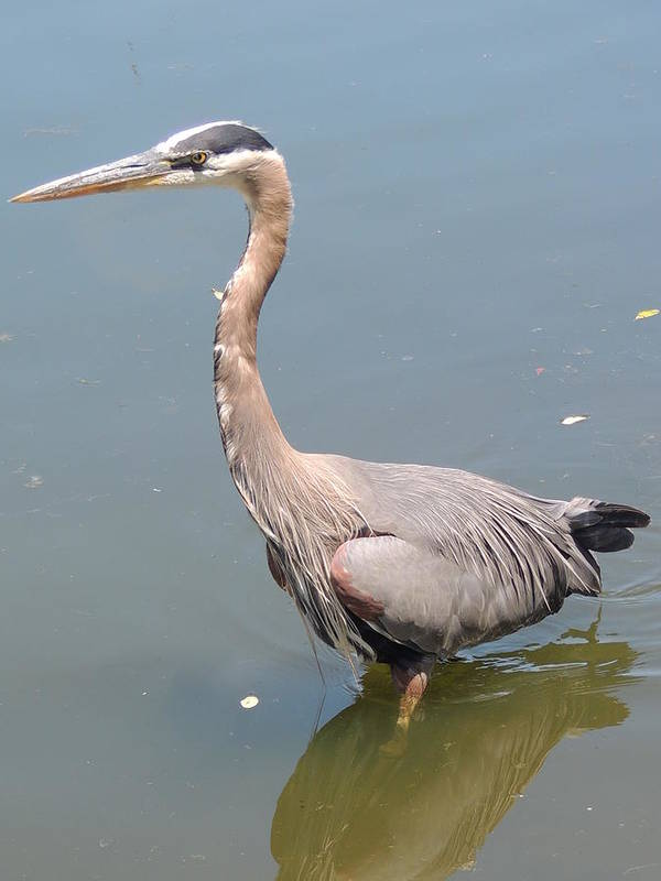 Nature Poster featuring the photograph Great Blue Heron by Lucy Howard