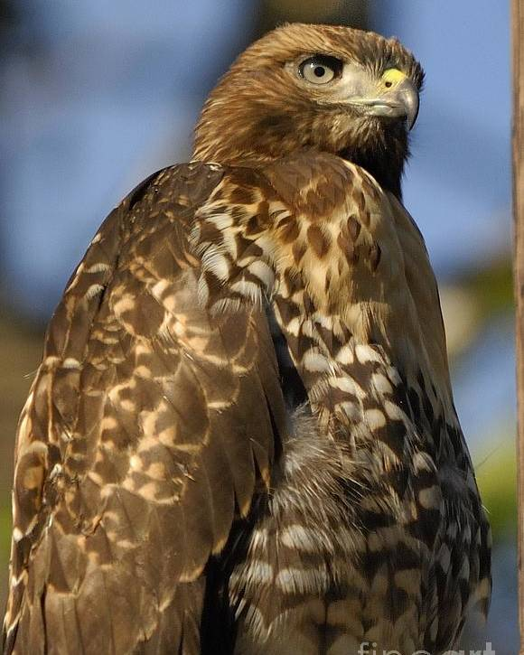 Hawk Poster featuring the photograph Hawk by Marc Bittan