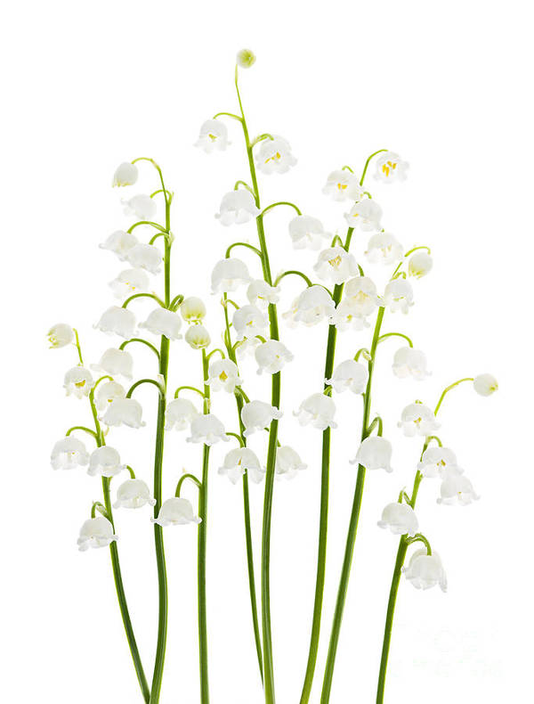 Flower Poster featuring the photograph Lily-of-the-valley Flowers by Elena Elisseeva
