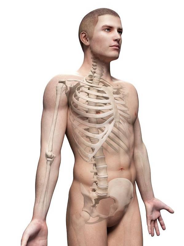 Artwork Poster featuring the photograph Male Skeletal System by Sebastian Kaulitzki
