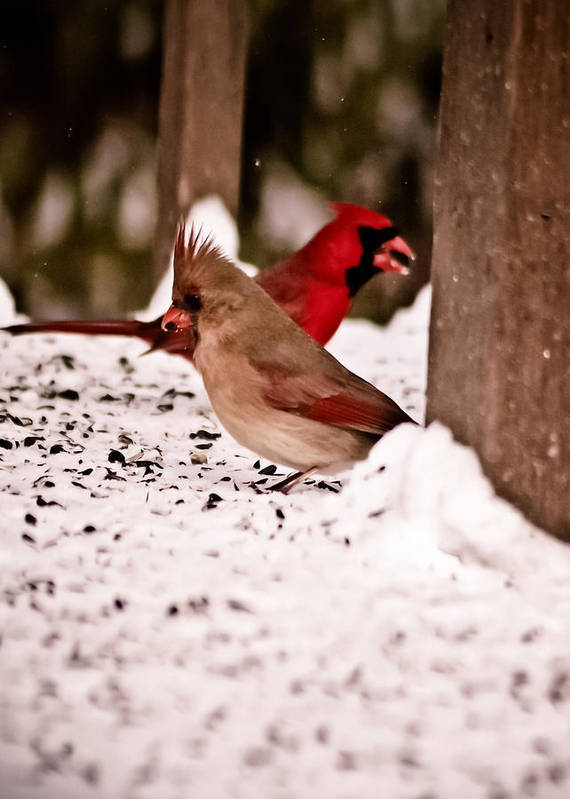 Red Poster featuring the photograph A Cardinal Couple by Sarah Cafaro