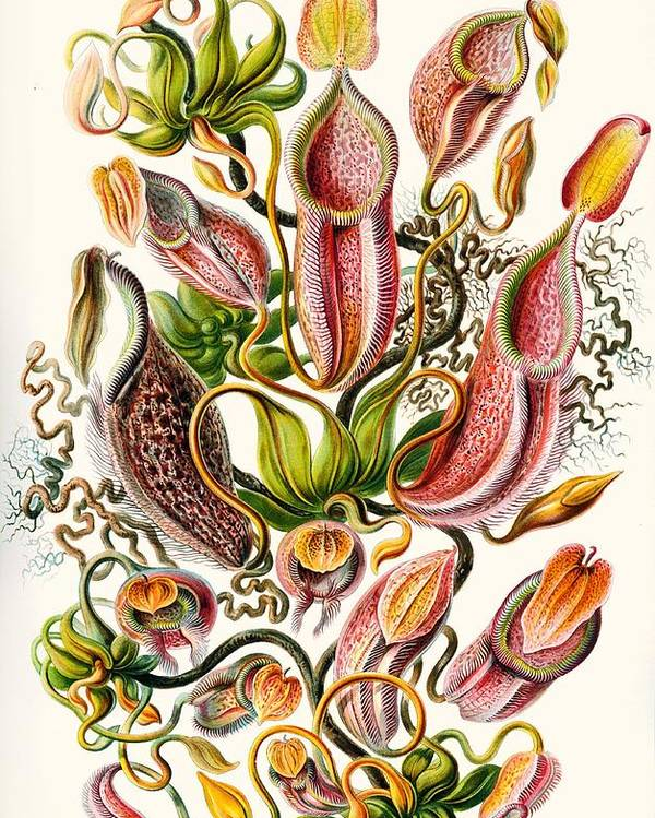 Vertical Poster featuring the drawing A Collection Of Nepenthaceae by Ernst Haeckel