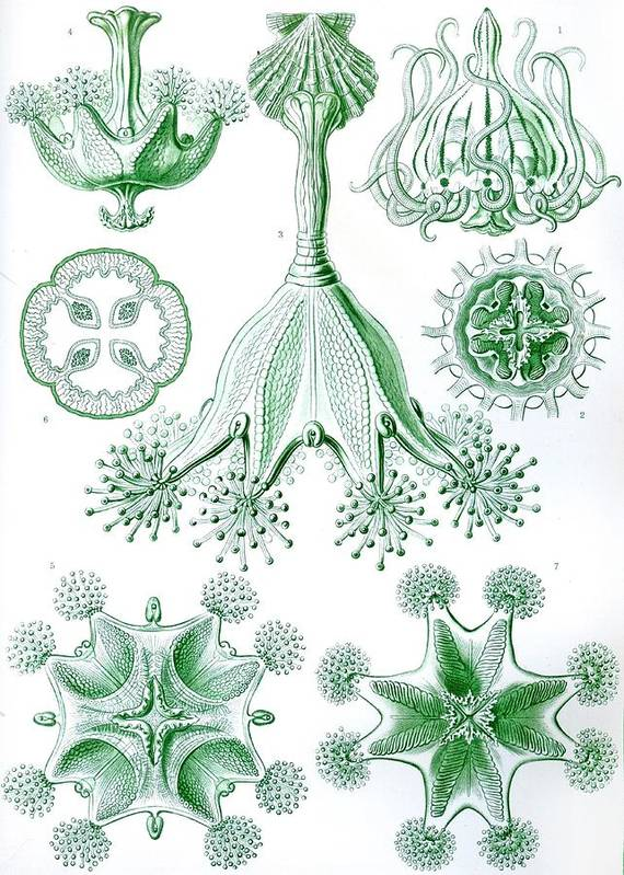 Vertical Poster featuring the drawing A Collection Of Stauromedusae by Ernst Haeckel