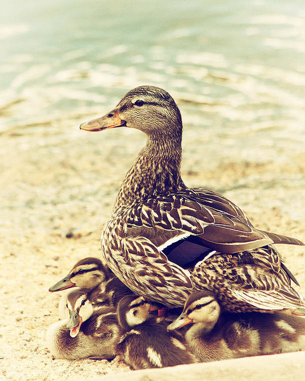 Mallard Poster featuring the photograph A Family Affair by Karol Livote