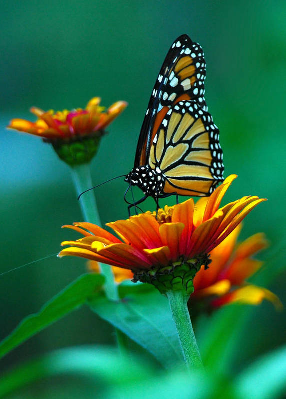 A Monarch Butterfly Poster featuring the photograph A Monarch II by Raymond Salani III