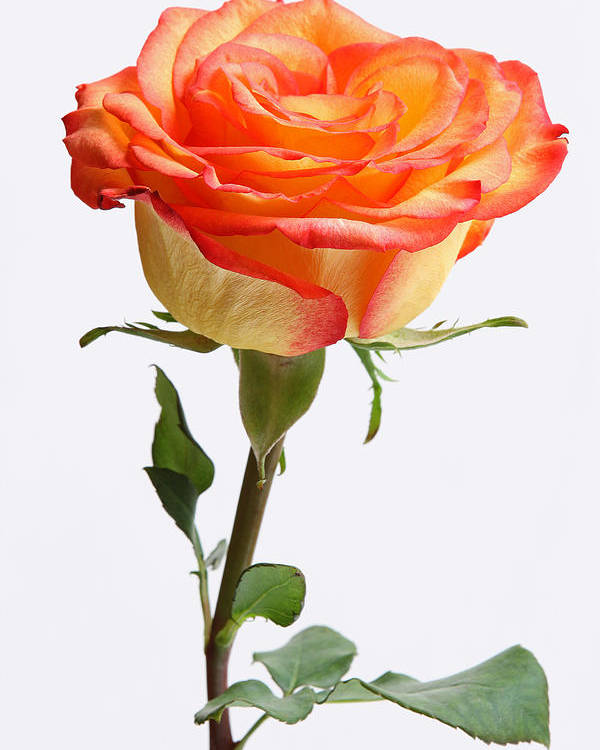 Rose Poster featuring the photograph A Rose Is A Rose Is A Rose by Juergen Roth