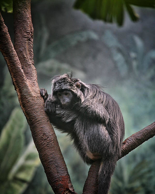 Monkey Poster featuring the photograph A Sense Of Sadness by Karol Livote