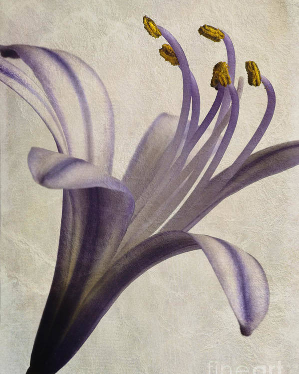 African Star Poster featuring the photograph Agapanthus Africanus Star by John Edwards