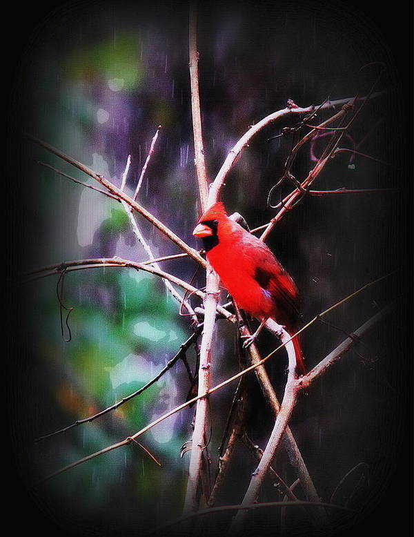 Bird Poster featuring the photograph Alabama Rain - Cardinal by Travis Truelove