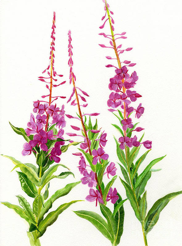 Watercolor Poster featuring the painting Alaska Fireweed by Sharon Freeman
