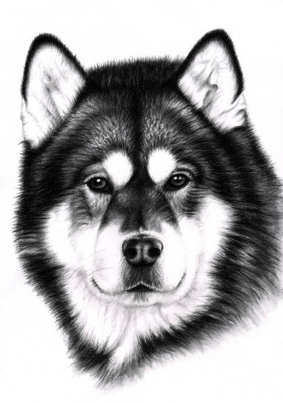 Dog Poster featuring the drawing Alaskan Malamute Portrait by Nicole Zeug
