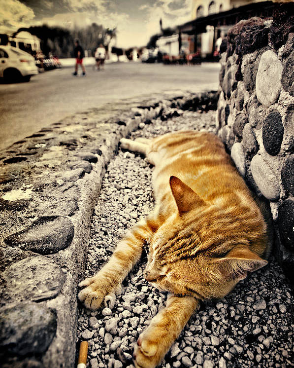 Ginger Poster featuring the photograph Alley Cat Siesta In Grunge by Meirion Matthias
