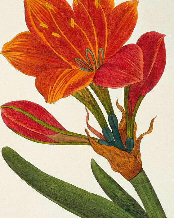 Till-life Poster featuring the painting Amaryllis Purpurea by Pancrace Bessa