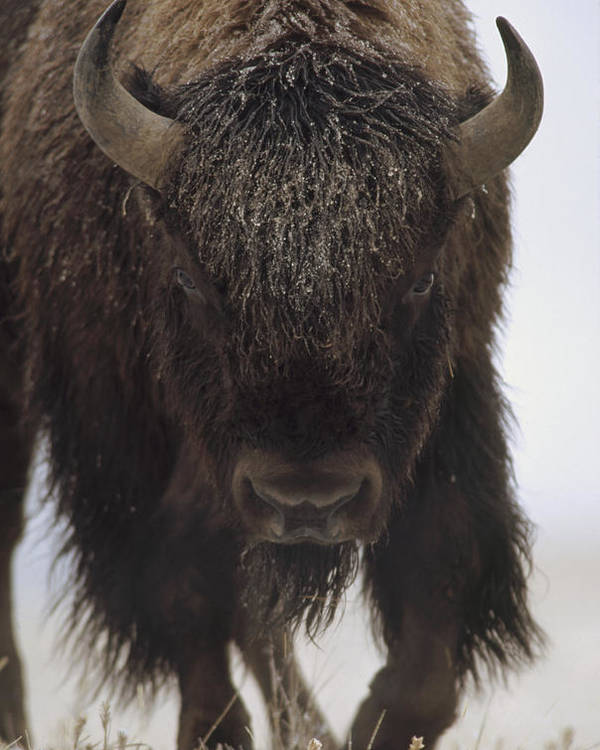 00172336 Poster featuring the photograph American Bison Portrait by Tim Fitzharris