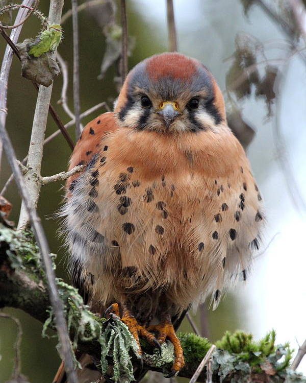 Birds Poster featuring the photograph American Kestrel by Angie Vogel