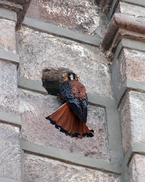 American Kestrel Poster featuring the photograph American Kestrel Perched On The Side Of A Building by Robert Hamm