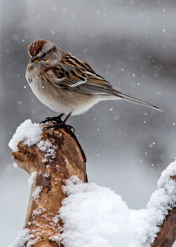 American Tree Sparrow Poster featuring the photograph American Tree Sparrow In Snow by Dawn Key