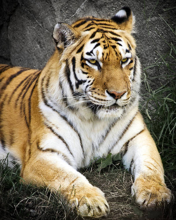 3scape Photos Poster featuring the photograph Amur Tiger by Adam Romanowicz