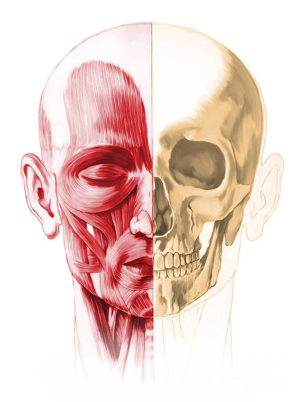 Anatomy Poster featuring the digital art Anatomy Of A Male Human Head, With Half by Leonello Calvetti