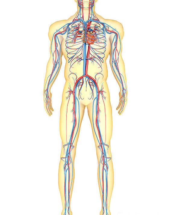 Vertical Poster featuring the digital art Anatomy Of Human Body And Circulatory by Stocktrek Images