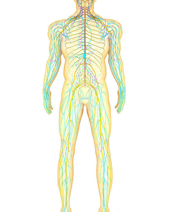 Anatomy Of Human Nervous System Poster By Stocktrek Images