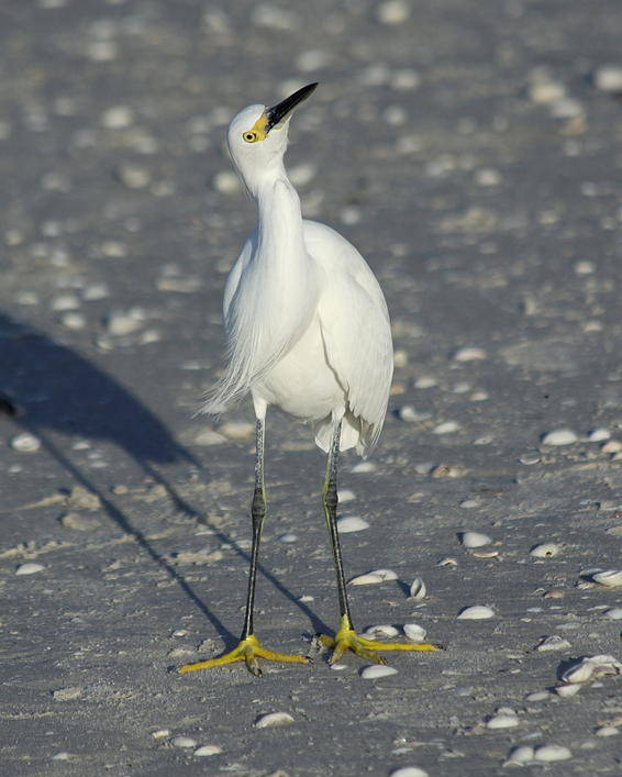 Snowy Egret Poster featuring the photograph Another Flying Fish by Christiane Schulze Art And Photography