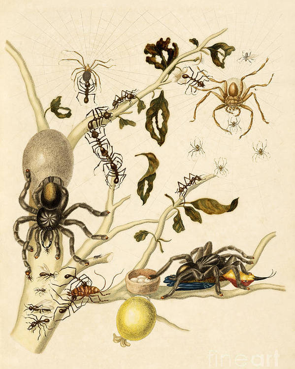 Branch Poster featuring the photograph Ants Spiders Tarantula And Hummingbird by Getty Research Institute