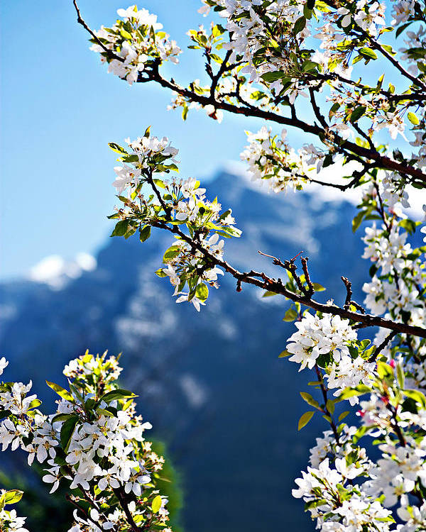 Apple Poster featuring the photograph Apple Blossoms Frame The Rockies by Lisa Knechtel