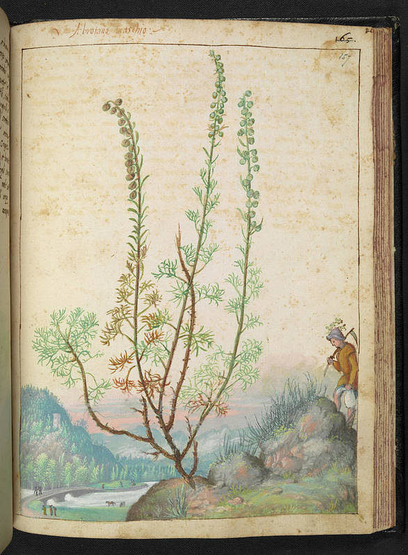 Art Poster featuring the photograph Artemisia Abrotanum by British Library