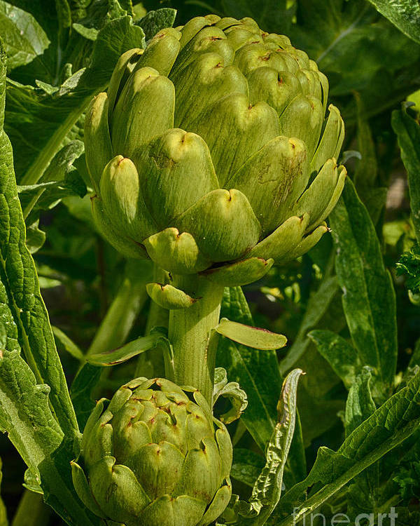 Artichoke Poster featuring the photograph Artichoke by Carrie Cranwill