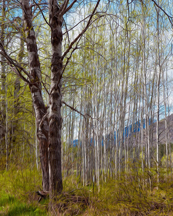 North Cascades Poster featuring the painting Aspen Trees Proudly Standing by Omaste Witkowski