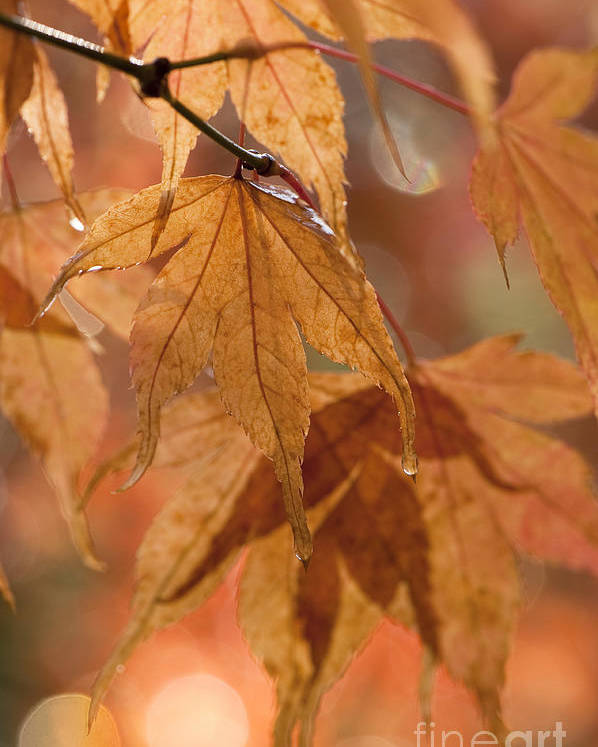 Acer Poster featuring the photograph Autumn Acer by Anne Gilbert