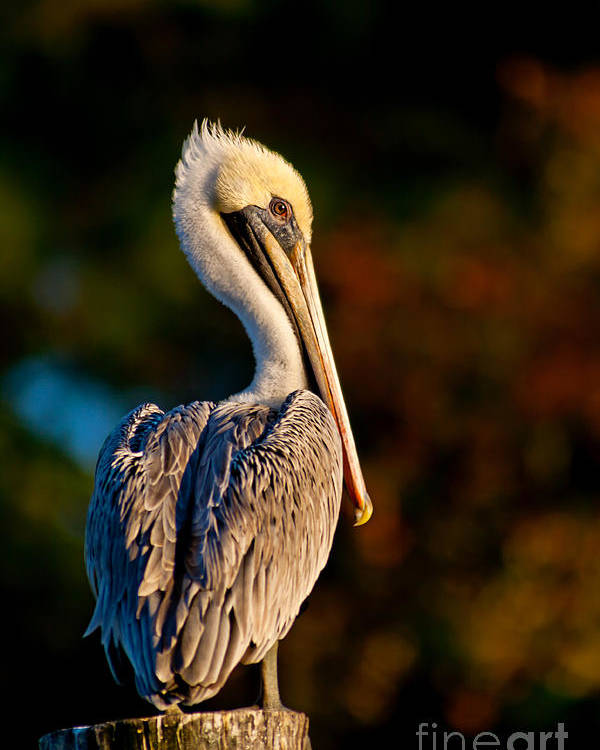 Brown Pelican Poster featuring the photograph Autumn Brown Pelican by Joan McCool