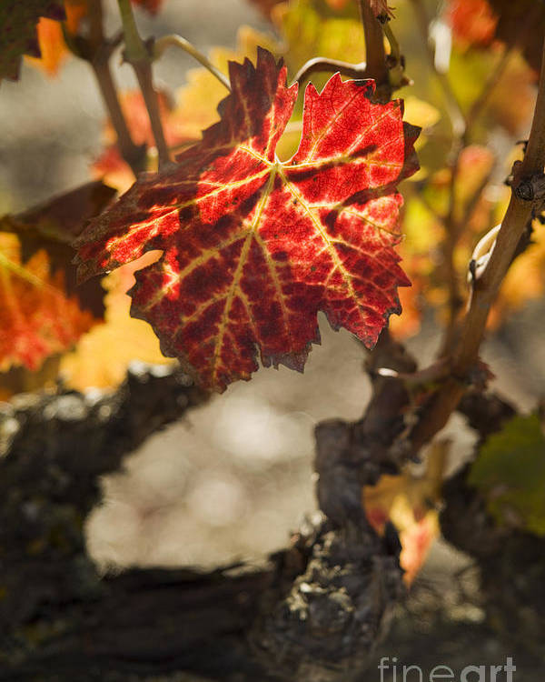 California Poster featuring the photograph Autumn Grape Leaves by Charmian Vistaunet