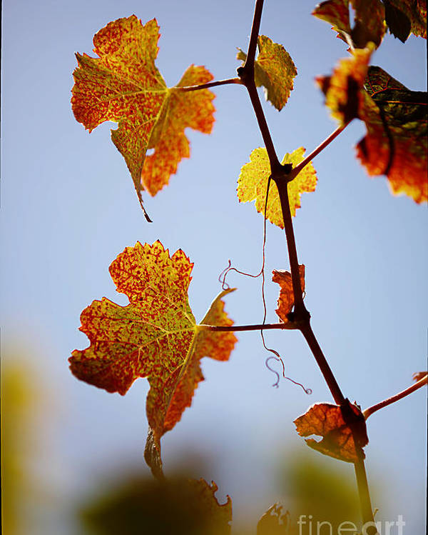 Grapes Poster featuring the photograph Autumn Grapevine by Dry Leaf