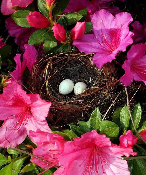 Bird Nests Poster featuring the photograph Azalea Surprise by Karen Wiles