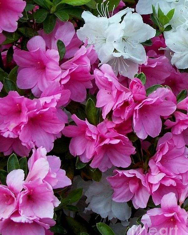 Flower Poster featuring the photograph Azalea Glory by David Neace