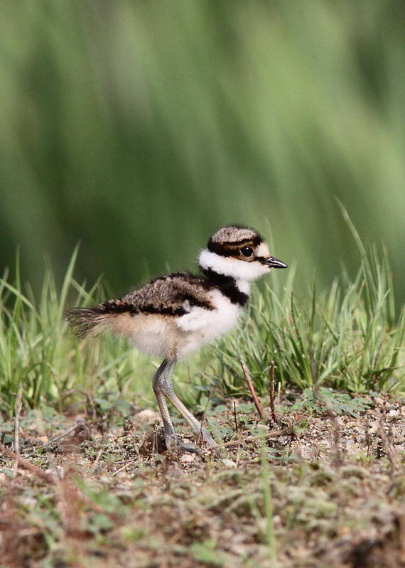 Killdeer Poster featuring the photograph Baby - Bird - Killdeer by Travis Truelove