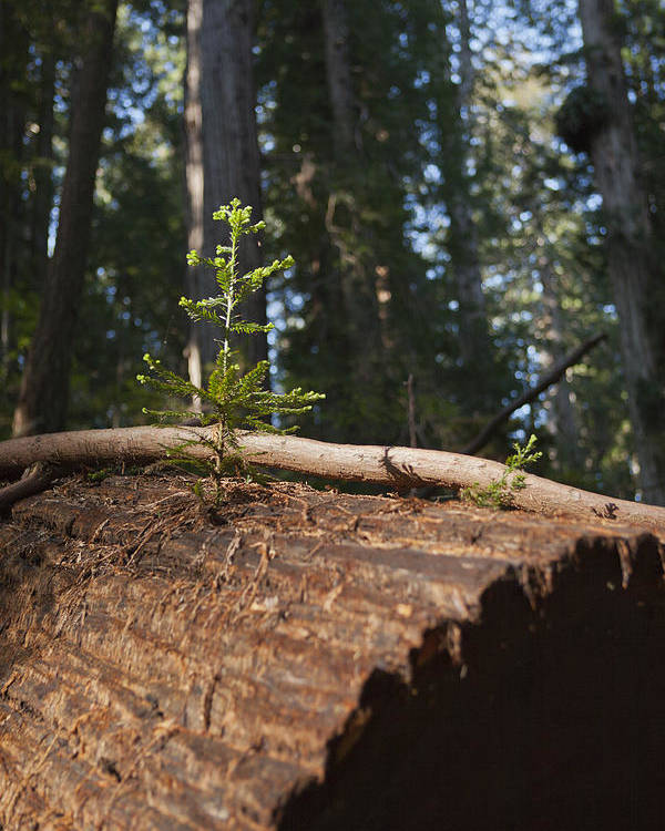 Sequoia Sempervirens (pronounced /sɨˈkɔɪ.ə Sɛmpərˈvaɪrənz/)[1] Is The Sole Living Species Of The Genus Sequoia In The Cypress Family Cupressaceae (formerly Treated In Taxodiaceae). Common Names Include Coast Redwood Poster featuring the photograph Baby Redwood by Joel Moranton