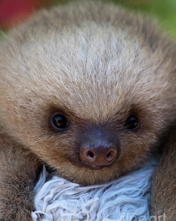 Sloth Poster featuring the photograph Baby Sloth by Heiko Koehrer-Wagner