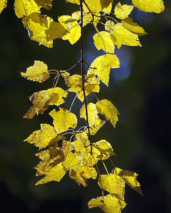 2d Poster featuring the photograph Backlit Leaves Of Autumn by Brian Wallace