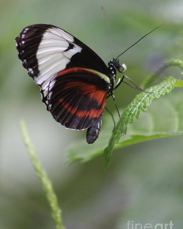 Butterfly Poster featuring the photograph Balance by Kimberly Matthews