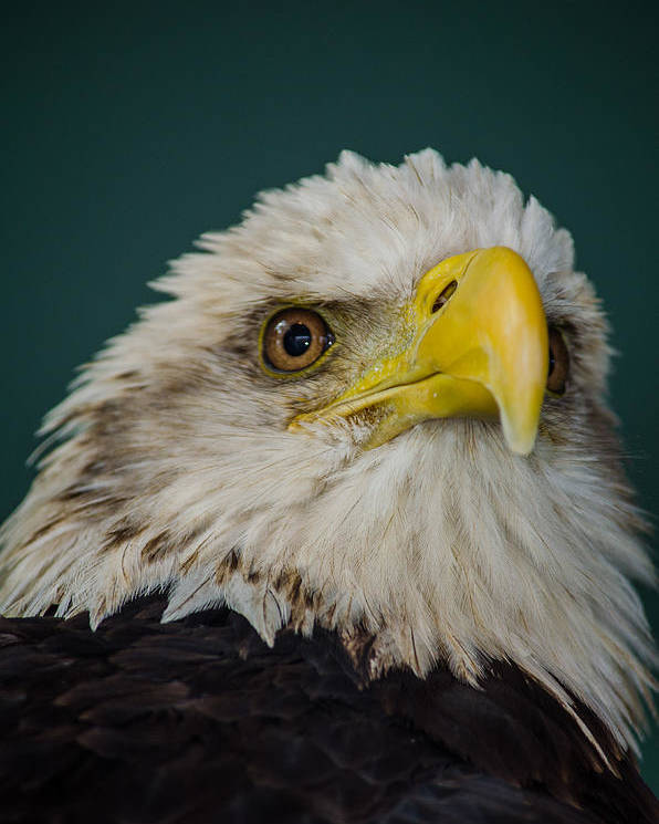 Bald Poster featuring the photograph Bald Eagle by Jeff Ortakales