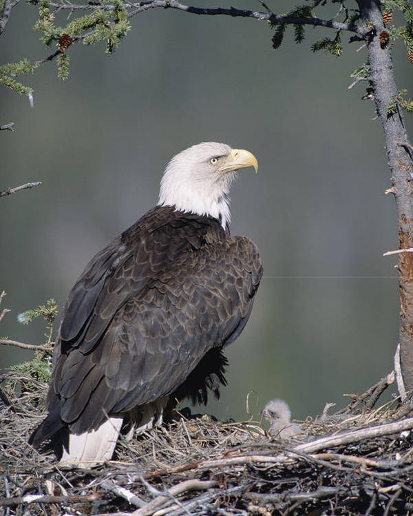 Feb0514 Poster featuring the photograph Bald Eagle On Nest With Chick Alaska by Michael Quinton