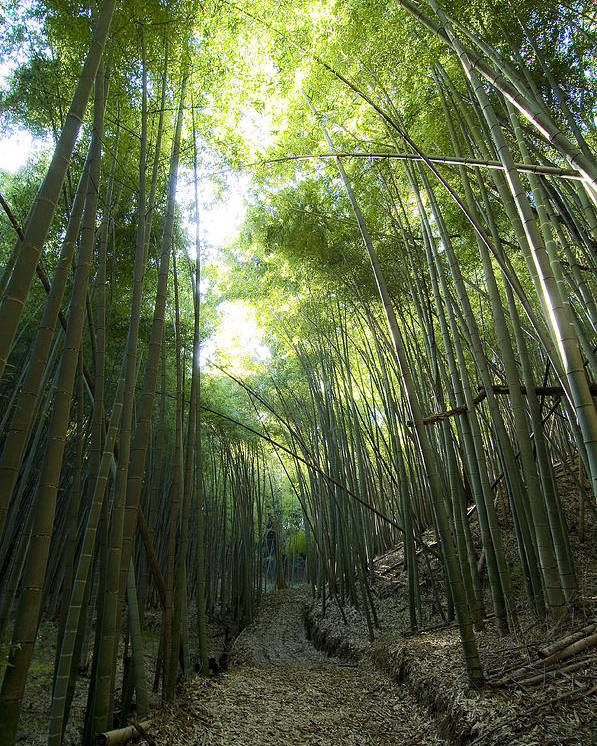 Bamboo Poster featuring the photograph Bamboo Road by Aaron Bedell
