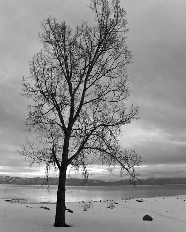 Tahoe Poster featuring the photograph Bare Tree On A Wintery Tahoe Shoreline by Scott Lenhart